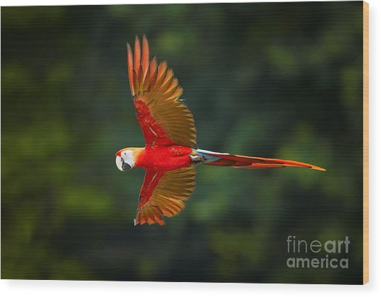 Close Up Ara Macao, Scarlet Macaw, Red Wood Print