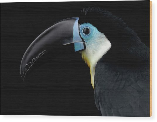 Close-up Channel-billed Toucan, Ramphastos Vitellinus, Isolated On Black Wood Print