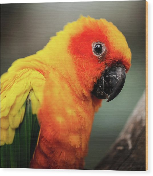 Close Up Of A Sun Conure Parrot. Wood Print