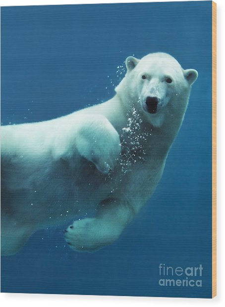 Close-up Of A Swimming Polar Bear Wood Print