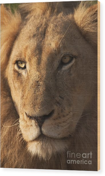 Close-up Of A Young Male Lion Panthera Wood Print