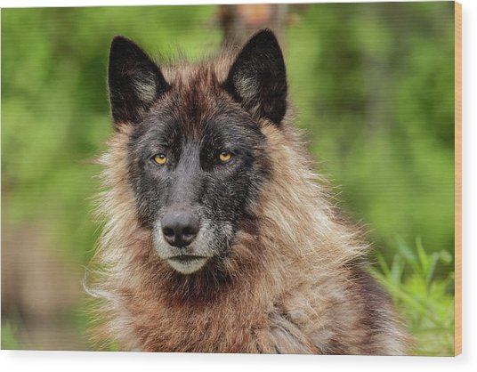 Close-up Of Adult Male Gray Wolf, Canis Wood Print by Adam Jones