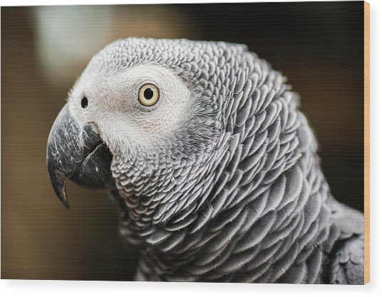 Close Up Of An African Grey Parrot Wood Print