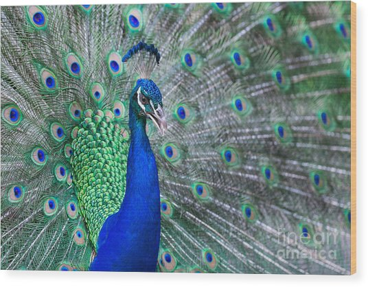 Close Up Of Beautiful Male Peacock With Wood Print