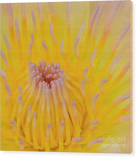 Close Up Of Beautiful Yellow Water Lily Wood Print