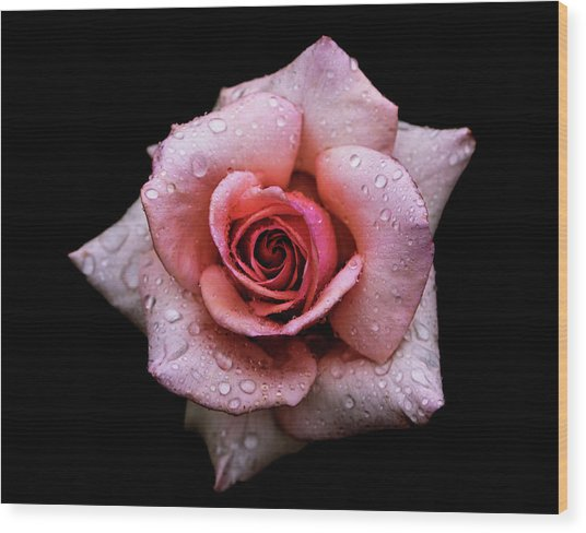 Close Up Of Dew Droplets On Pink Rose Wood Print