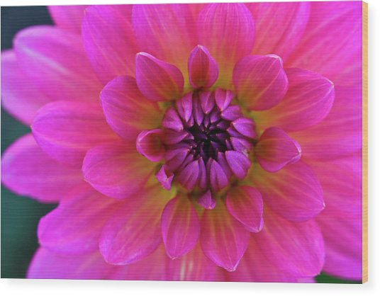 Close-up Of Pink Flower Wood Print by Jupiterimages