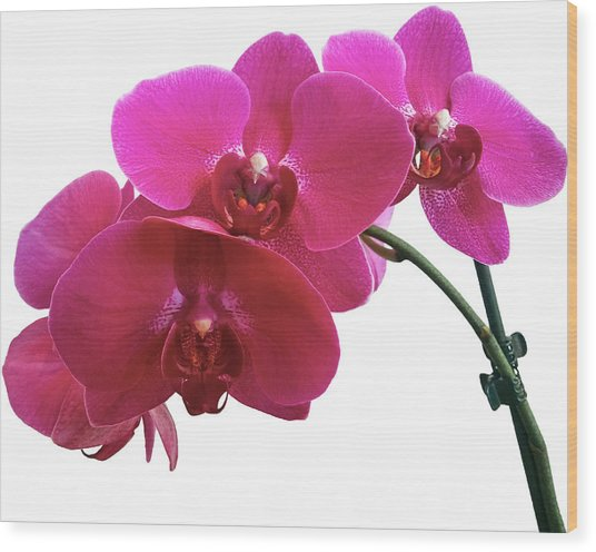 Close-up Of Purple Orchid Against White Wood Print by Andrew Coulter / Eyeem