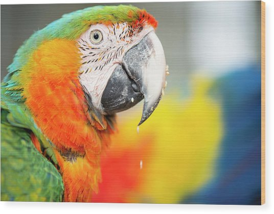 Close Up Of The Macaw Bird. Wood Print