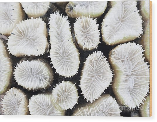 Close-up Of White Coral Wood Print