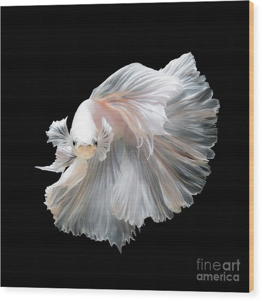 Close Up Of White Platinum Betta Fish Wood Print by Nuamfolio