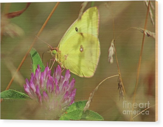 Clouded Sulfur Butterfly Wood Print
