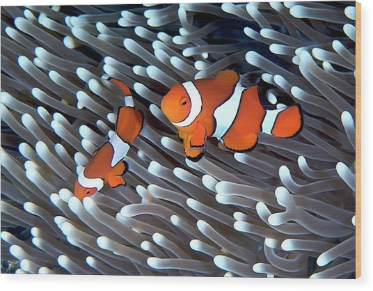 Clownfish Wood Print by Copyright Melissa Fiene