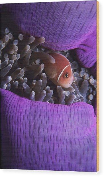 Clownfish In Purple Anenome Wood Print