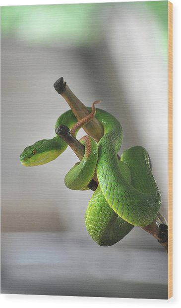 Coiled Pit Viper Snake On Bamboo Stick Wood Print