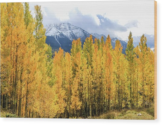 Colorado Aspens And Mountains 1 Wood Print