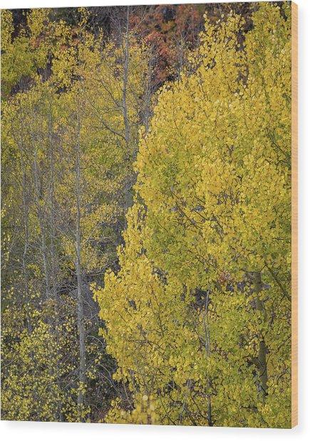 Colorado Aspens Wood Print