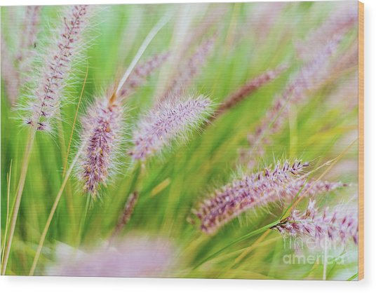 Colorful Flowers In Purple Spikes, Purple Fountain Grass, Close- Wood Print