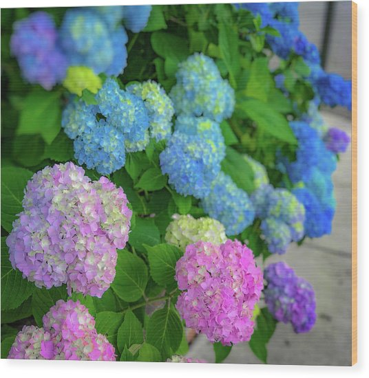 Colorful Hydrangeas Wood Print