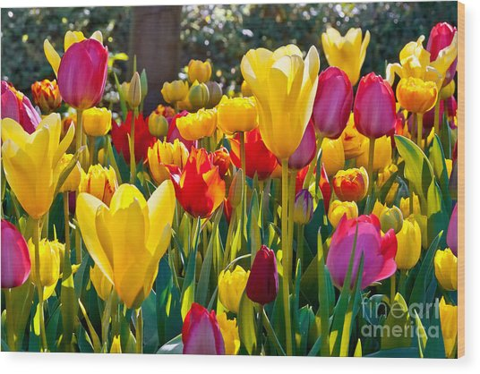 Colorful Tulips In The Park. Spring Wood Print