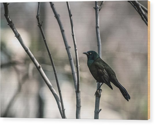 Common Grackle Wood Print by By Ken Ilio