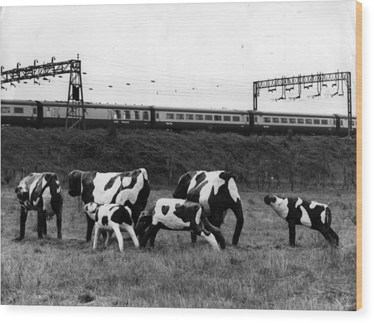 Concrete Cows Wood Print by Ian Tyas