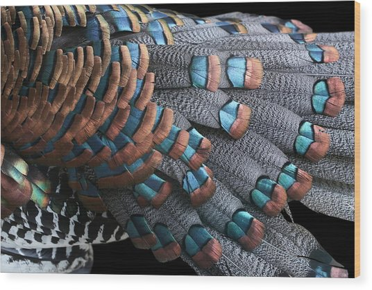 Copper-tipped Ocellated Turkey Feathers Photograph Wood Print