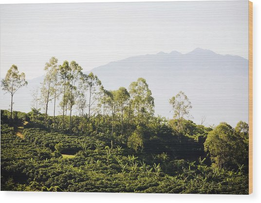 Costa Rica, Alajuela, Coffee Plants At Wood Print by Bob Stefko