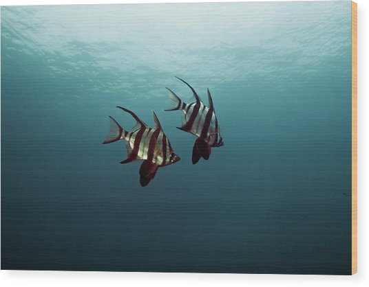 Couple Of Fish Wood Print by Underwater Graphics