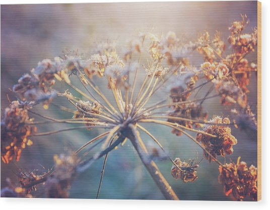 Cow Parsley Winter Frost Wood Print