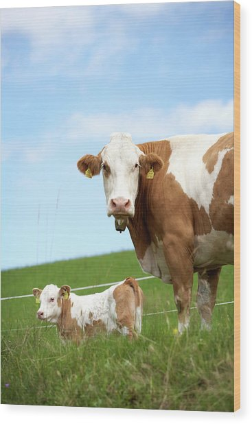 Cow With Calf On Meadow Wood Print by Arne Pastoor / Stock4b