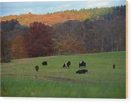 Wood Print featuring the photograph Cows Grazing On A Fall Day by Angela Murdock