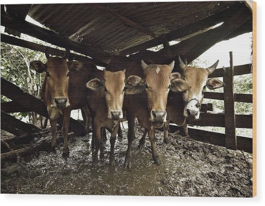 Cows Staring Back Wood Print by Photography By Kenneth Tan calvinistguy