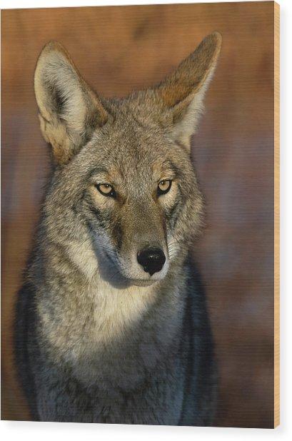 Coyote 1 Wood Print