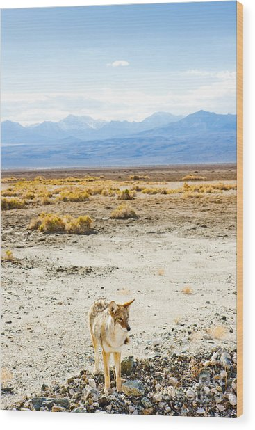 Coyote, Death Valley National Park Wood Print