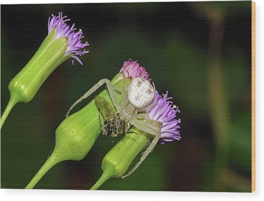 Crab Spider With Bee Wood Print