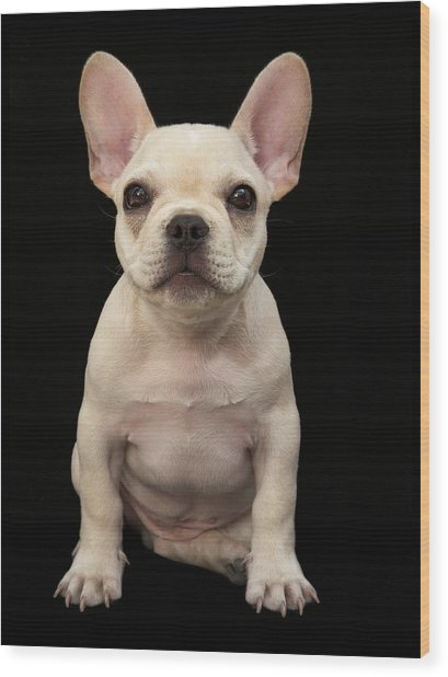 Cream Colored French Bulldog Puppy Wood Print by M Photo
