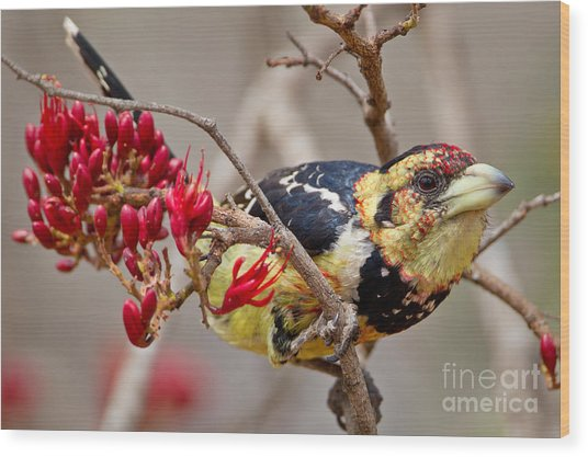 Crested Barbet, South Africa Wood Print