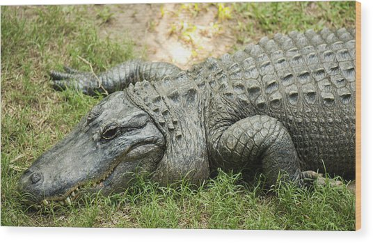 Crocodile Outside Wood Print