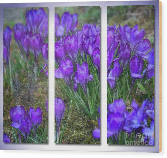 Wood Print featuring the photograph Crocus Triptych by Ann Jacobson