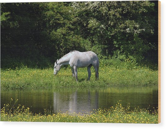Cumbria. Ulverston. Horse By The Canal Wood Print