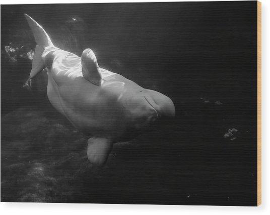 Curious Beluga Wood Print