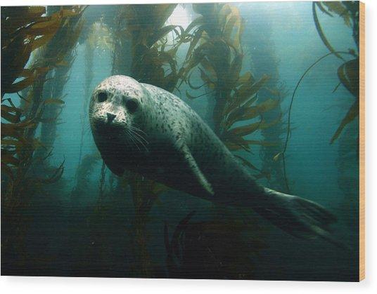 Curious Harbor Seal At Anacapa Island Wood Print