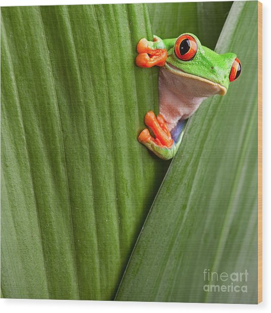 Curious Red Eyed Tree Frog Hiding In Wood Print