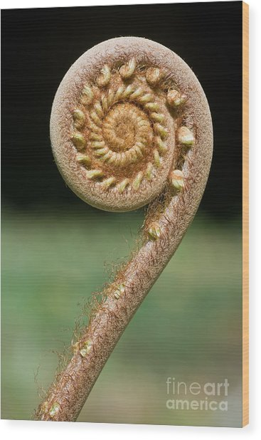 Curled Young Fern Wood Print
