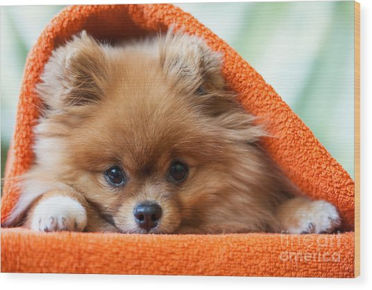 Cute And Funny Puppy Pomeranian Smiling Wood Print by Barinovalena