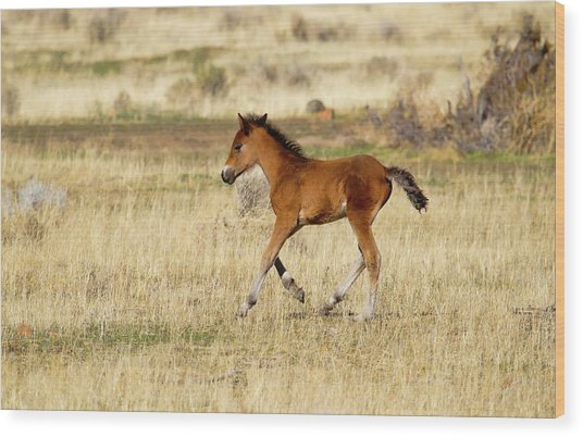 Cute Wild Bay Foal Galloping Across A Field Wood Print