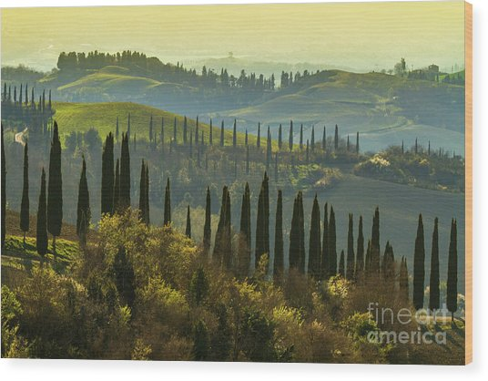 Cypress Trees In Tuscany-1 Wood Print