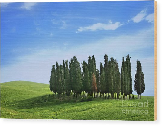 Cypress Stand Wood Print