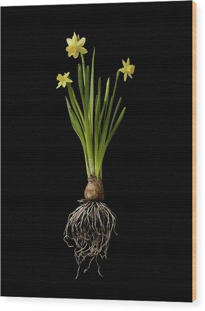 Daffodil Plant On Black Background Wood Print by William Turner